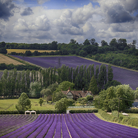 Buy canvas prints of Lavender Field by Phil Clements