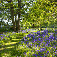 Buy canvas prints of Arlington Bluebell Woods by Phil Clements