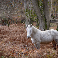 Buy canvas prints of New Forest Pony by Phil Clements