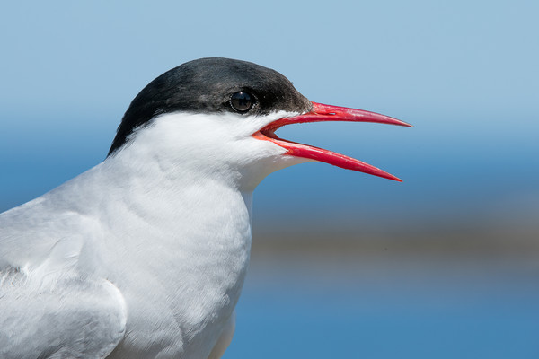 A funny Tern Canvas print by Philip Male