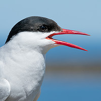 Buy canvas prints of A funny Tern by Philip Male