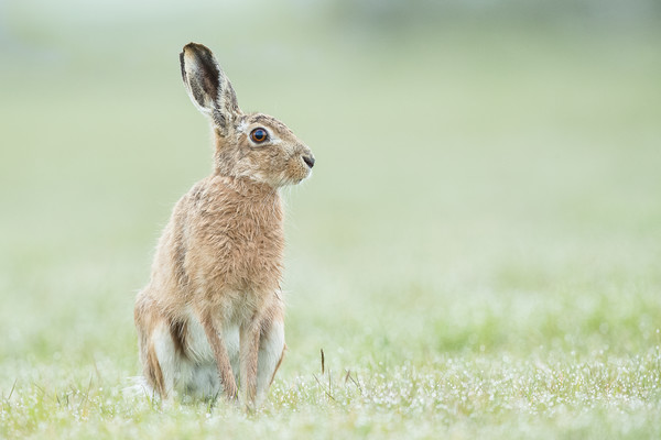 Hare today Canvas print by Philip Male