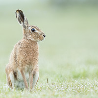 Buy canvas prints of Hare today by Philip Male