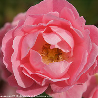 Buy canvas prints of Pink rose by Craig Cheeseman