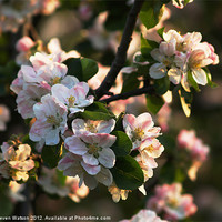 Buy canvas prints of Apple Blossom by Steven Watson