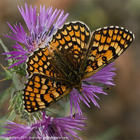 Buy canvas prints of PROVINCAL FRITILLARY by Helen Cullens