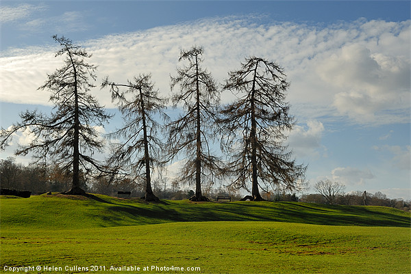 LARCHES AT VERULAMIUM Canvas print by Helen Cullens