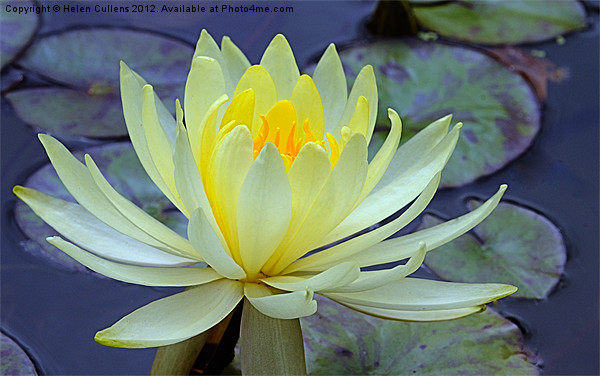 YELLOW WATER LILY Canvas print by Helen Cullens