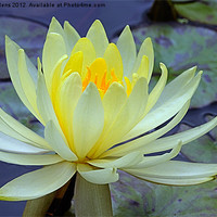 Buy canvas prints of YELLOW WATER LILY by Helen Cullens