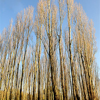 Buy canvas prints of STANBOROUGH POPLARS by Helen Cullens