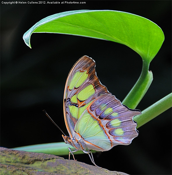 MALACHITE BUTTERFLY Canvas print by Helen Cullens