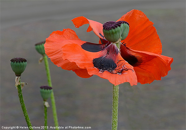 WINDSWEPT POPPY Canvas print by Helen Cullens