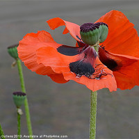 Buy canvas prints of WINDSWEPT POPPY by Helen Cullens