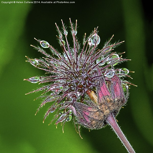 WATER AVENS Canvas print by Helen Cullens