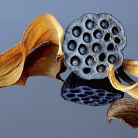 Buy canvas prints of  NELUMBO SEEDHEAD by Helen Cullens