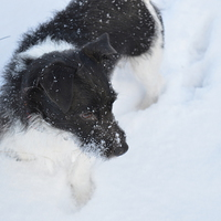Buy canvas prints of  Jack Russell in the snow by Stuart Prosser