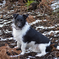 Buy canvas prints of  Jack Russell by Stuart Prosser