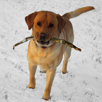Buy canvas prints of Labrador in the snow by Steven Stoddart