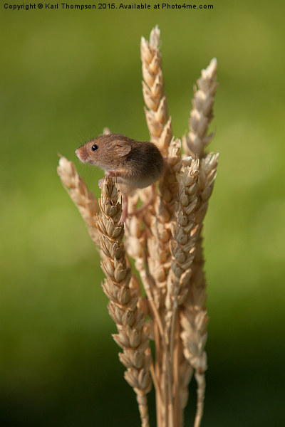 Harvest Mouse Canvas print by Karl Thompson