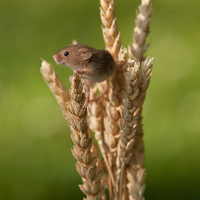 Buy canvas prints of  Harvest Mouse by Karl Thompson