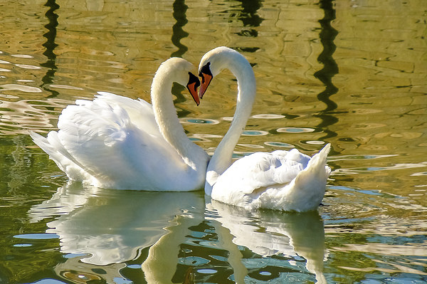 Swan Love Framed Mounted Print by David Martin