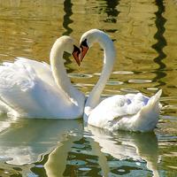 Buy canvas prints of  Swan Love by David Martin