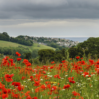 Buy canvas prints of  Poppy view 2 by David Martin