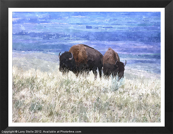 American bison Framed Mounted Print by Larry Stolle