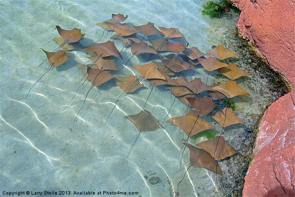 Atlantis stingrays Framed Mounted Print by Larry Stolle