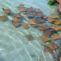 Buy canvas prints of Atlantis stingrays by Larry Stolle