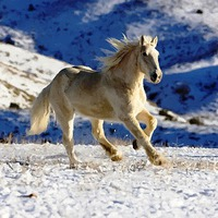 Buy canvas prints of HORSE RUNNING in SNOW by Larry Stolle