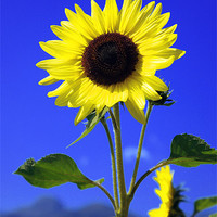 Buy canvas prints of sunflower by david harding