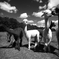Buy canvas prints of  Alpacas  by david harding
