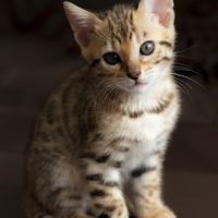 Buy canvas prints of Cute Bengal kitten by Robert Coffey