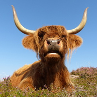Buy canvas prints of  Highland Cow, Highland Cattle, Scotland by Chris Petty