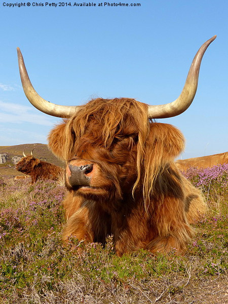 Highland Cattle, Highland Cow, Scotland Canvas print by Chris Petty