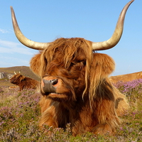 Buy canvas prints of Highland Cattle, Highland Cow, Scotland by Chris Petty