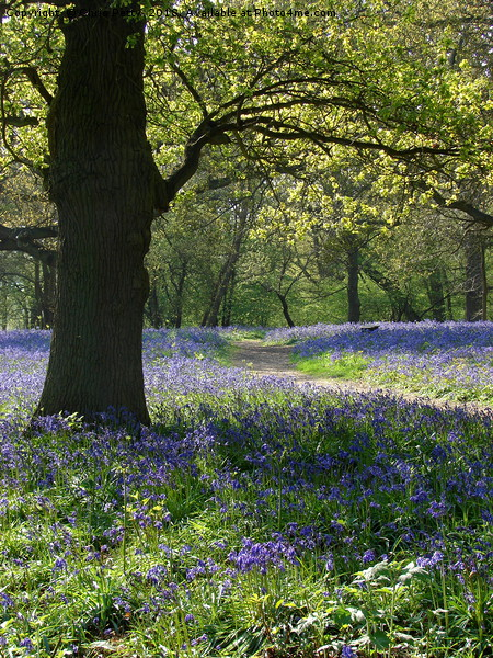 Bluebell Wood                                Canvas Print by Chris Petty