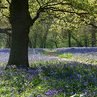 Buy canvas prints of Bluebell Wood                                by Chris Petty