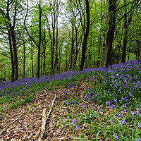Buy canvas prints of Bluebells by Paul Brewer
