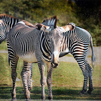 Buy canvas prints of Zebras by Elaine Manley