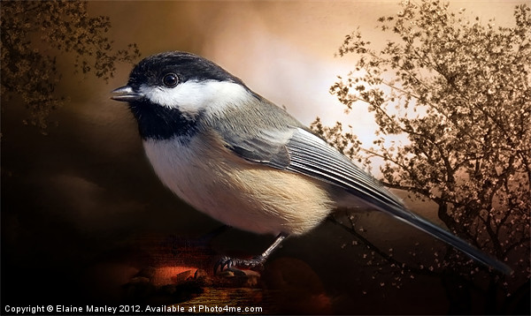 Black Capped Chickadee Canvas print by Elaine Manley