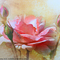 Buy canvas prints of October Rose by Elaine Manley