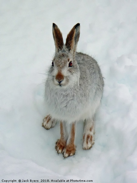 Mountain Hare in Snow Canvas print by Jack Byers
