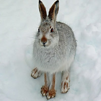 Buy canvas prints of Mountain Hare in Snow by Jack Byers