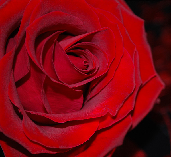 Red Rose Canvas print by Julie  Chambers