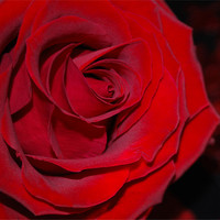 Buy canvas prints of Red Rose by Julie  Chambers