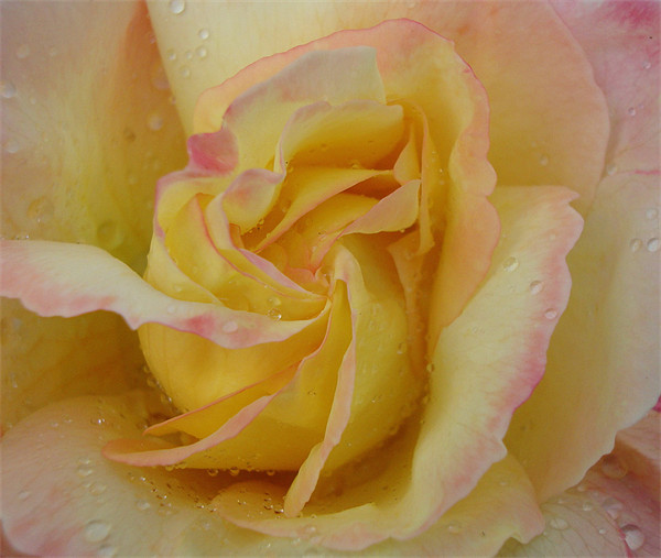 Favourite Rose Canvas Print by Donna-Marie Parsons