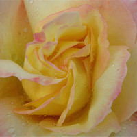 Buy canvas prints of Favourite Rose by Donna-Marie Parsons