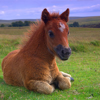 Buy canvas prints of Dartmoor Pony by kevin wise